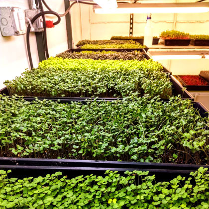 Micro greens growing in green house