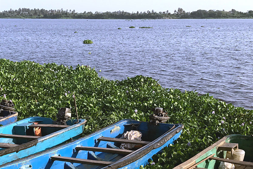 Badagry Water Hyacinth