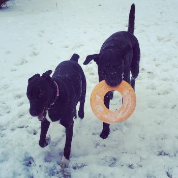 Two black dogs playing in the snow